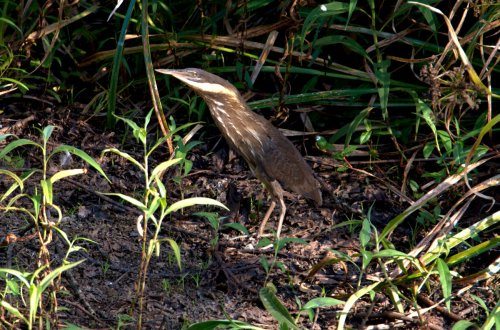 Female Black Bittern