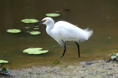 1-little-egret-swallowing-fish