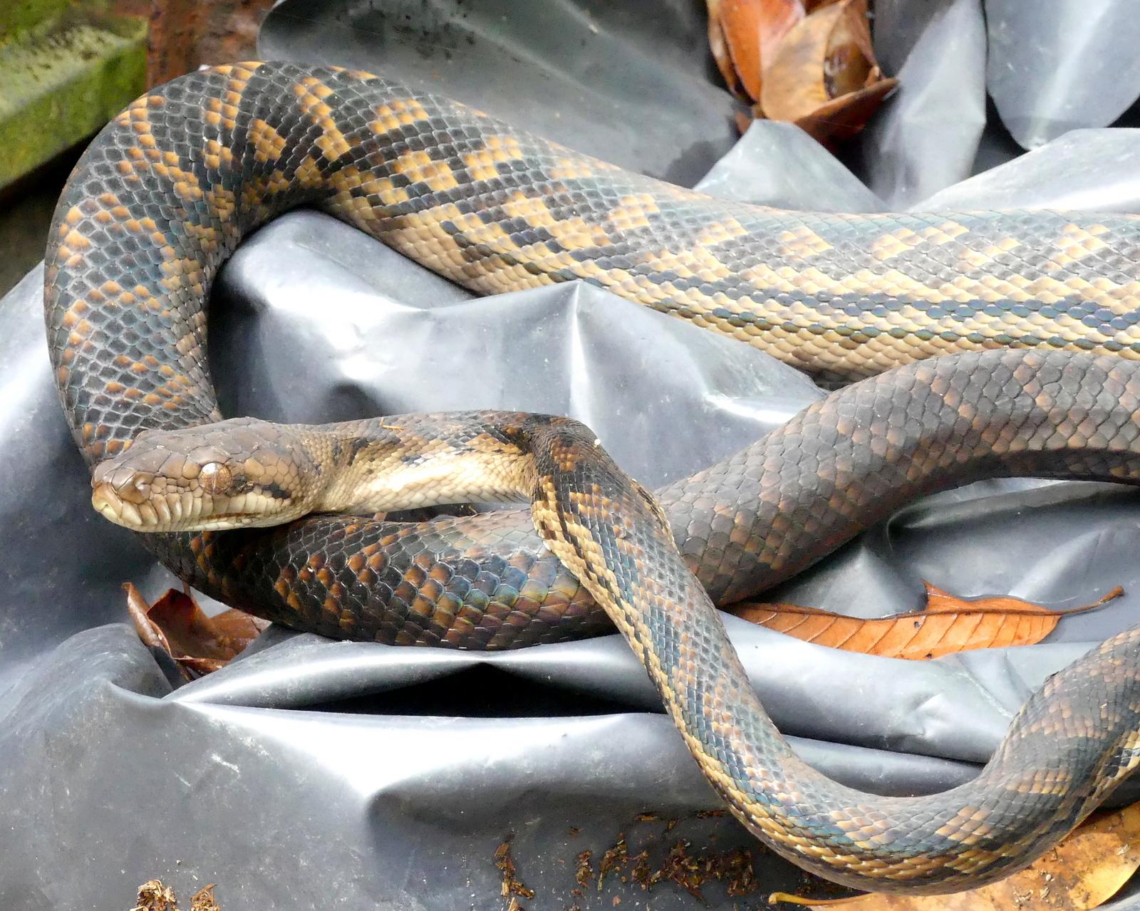 1-Amethystine python-001