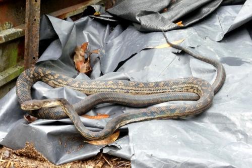 1-Amethystine python
