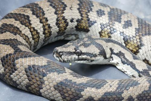 1-Carpet Python - close up