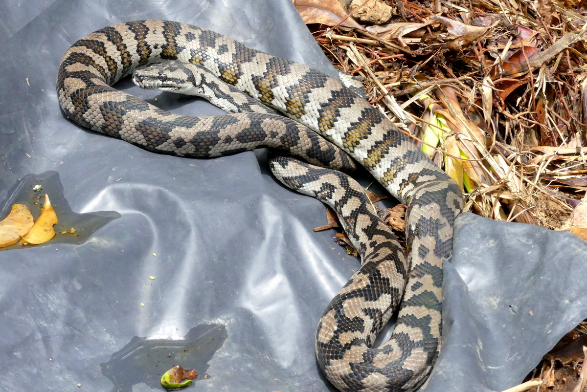 1-Carpet Python on weed pile