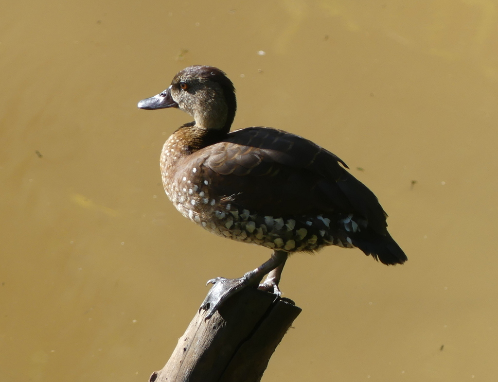 2-Spotted Whistling duck perching