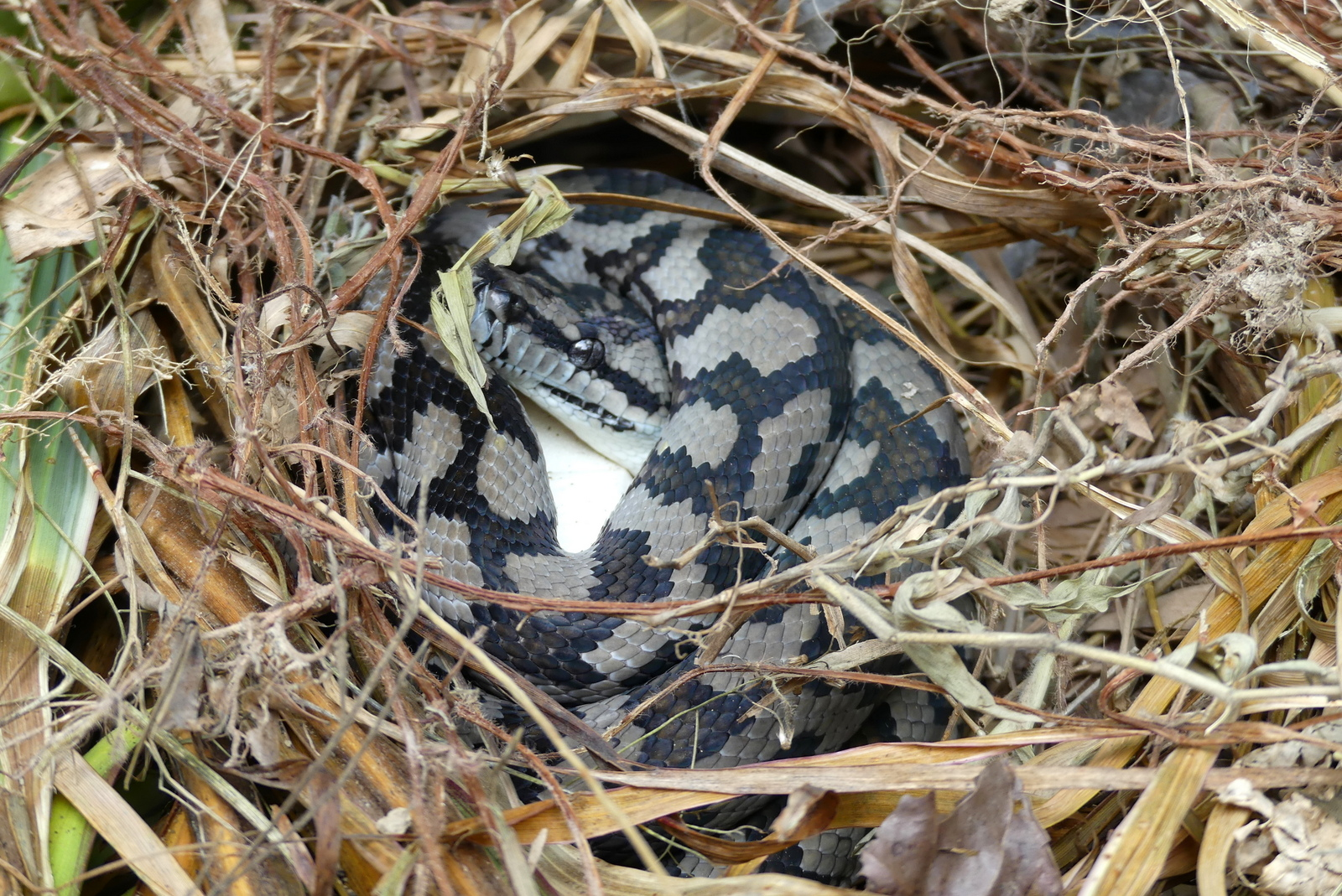 1-Carpet snake with eggs