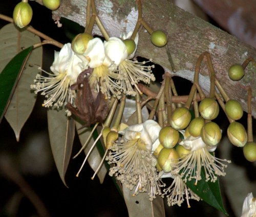 Blossum Bat in Durian Flowers