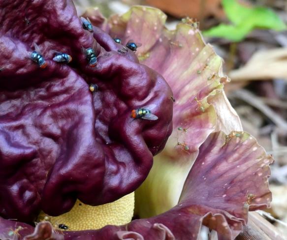 Amorphophallus Paeoniifolius Wild Wings Swampy Things