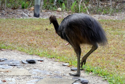 WW&ST Cassowary backview 1-11-2018 6-20-39 AM